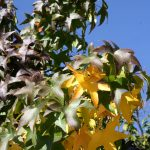 Cambio de coloración de las hojas en otoño