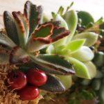 Corona de Navidad con plantas crasas
