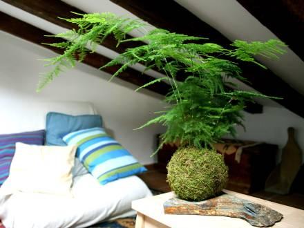 Kokedama de esparraguera decorando una habitación