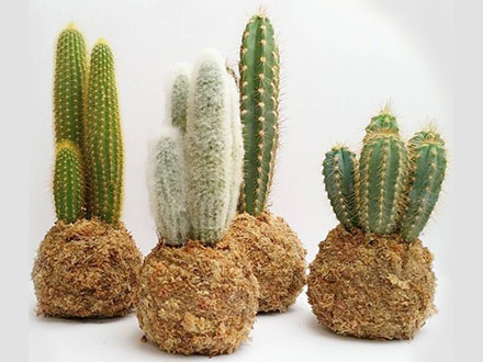 Cuatro kokedamas de cactus