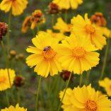 Caja de semillas de coreopsis con lenguaje floral
