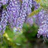 Caja de semillas de glicinia con lenguaje floral
