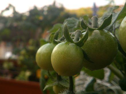 Tomates en un huerto ecológico en una terraza