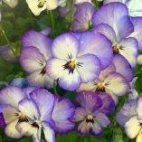Caja de semillas de viola con lenguaje floral